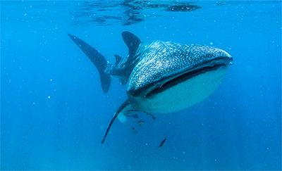 フィリピン セブオスロブのジンベイザメ